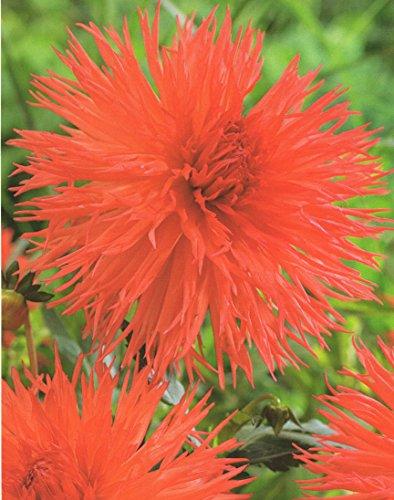 Hirschgeweih Dahlie großblumig Mel's Orange Knolle Blumenzwiebel (1)