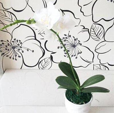 Fleur exotique Orchidée Graines Cattleya Multicolor Papillon Orchidee Bonsai Monoflord Mini jardin plante facile à cultiver 200 pcs/sac 4