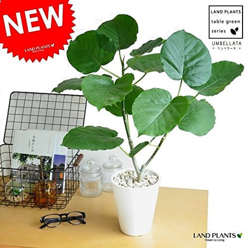 LAND PLANTS ウンベラータ 卓上サイズ 白セラアート5号鉢