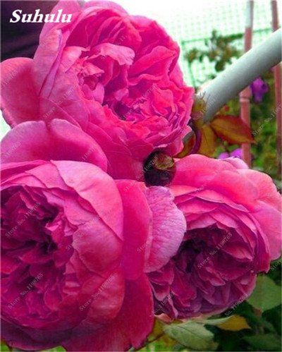 Chinese National Flower 5 graines Pcs Pivoine Plante en pot Paeonia suffruticosa Arbre Terrasse Cour Illuminez votre jardin personnel 14