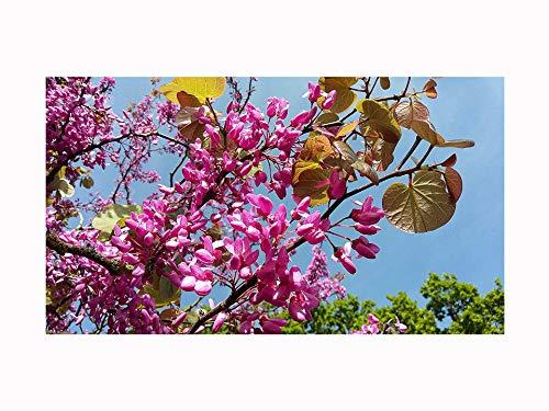 Petit arbre à fleurs, Judas Tree CERCIS SILIQUASTRUM, fleurs roses sur le coffre et les branches nues, feuillage de bronze au printemps 5-10cm
