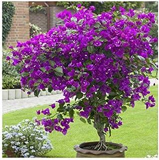 50 semillas / Pac ktop venta de semillas Bougainvillea spectabilis Willd coloridas semillas de flor planta de los bonsais ...