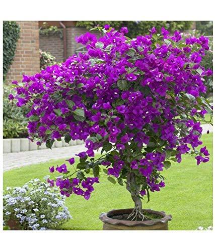 50 semillas / Pac ktop venta de semillas Bougainvillea spectabilis Willd coloridas semillas de flor planta de los bonsais del Bougainvillea Perenne Semilla