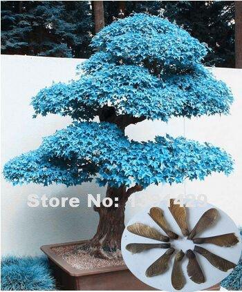 100% réel 20pcs Violet bleu fantômes japonais Graines Érable, (Acer Palatum), bonsaï graines de fleurs, plantes en pot pour la maison et le jardin