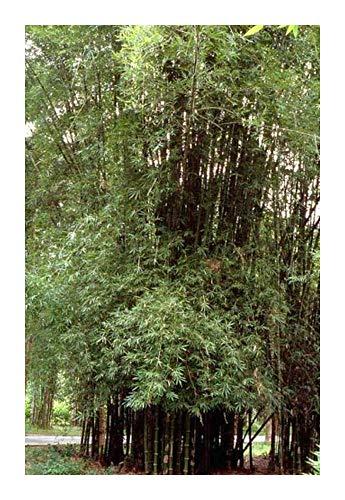 Bambusa lapidea - bambou cespiteux - 3 graines