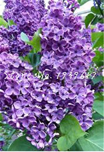 HONIC 100 Stück Mini Bonsai Lila Blume Japanische Flieder (Extremely Fragrant) Lila Blume Baum planta, Staudengarten Aromatische Pflanzen: 13