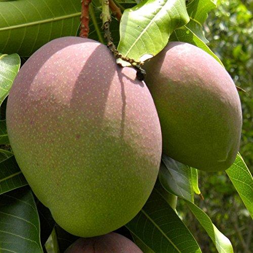 Mango planta - Maceta tubo - Altura total aprox. 1m. - Planta viva - (Envío sólo a Península)