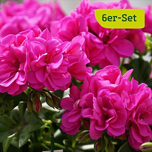 6er-Set Hänge-Geranien, echte Pflanzen für Beet und Balkon, Geranie Pelargonium peltatum, lila, je im 12 cm Topf