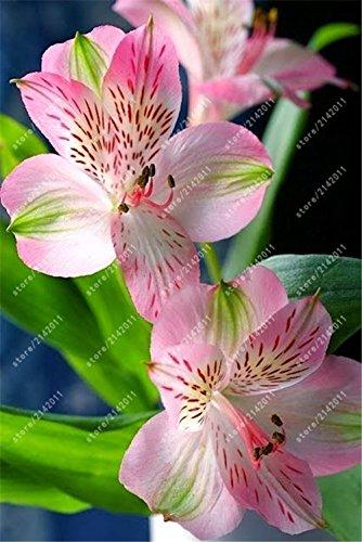 100 piezas / bolsa de semillas del lirio peruano del Alstroemeria Alstroemeria Inca Bandit - princesa Lily bonsai semillas de flores in planta para el jardín de 2