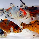 Live Shubunkin Goldfish - Born and Raised in The USA