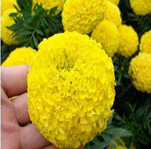 100PCS graines Chrysanthème Gazania rigens Graines rares Fleurs Graine Accueil Balcon Jardin Bonsai Envoi gratuit jaune