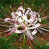 3個彼岸花電球赤白発散形状クモユリ多年生の花チャーミング秋咲く強力な花根茎のための庭パティオ中庭の植栽