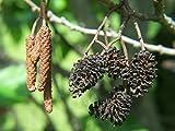 Portal Cool 500 Semillas: Negro Europea Alder, aliso común (Alnus glutinosa) -200/500/1200/3000 Semillas + regalo