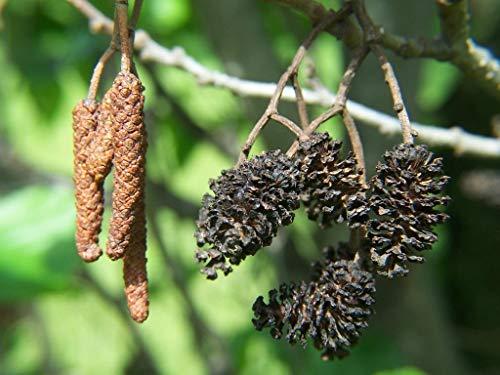 Portal Cool 500 Samen: Europäischer Schwarzerle, Common Alder (Alnus glutinosa) -200/500/1200/3000 Seeds + Gift