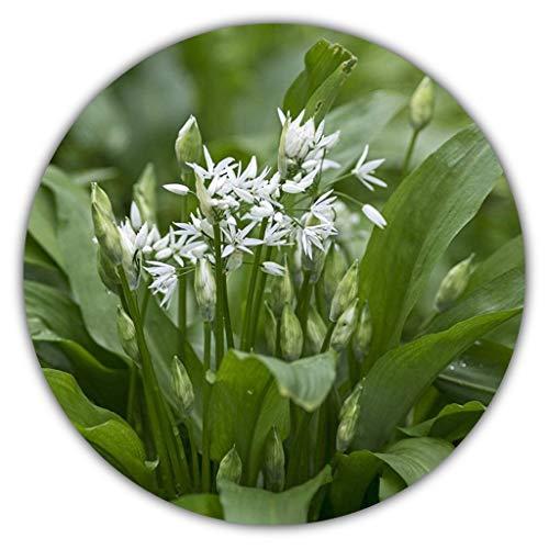 Bärlauch Saatgut - 30 Samen - Waldknoblauch - Mehrjährige Pfanzen - Wilder Knoblauch - Allium Ursinum