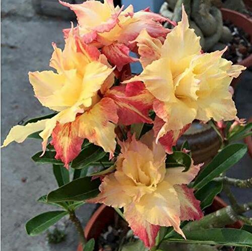 graines importées réel, 1pcs/sac coloré Desert Rose, graines Adenium obesum bonsaï bricolage jardin maison 10 expédition