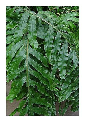 Phlebodium decumanum - fougère Calaguala - 10 graines
