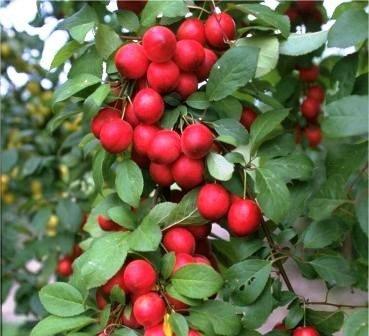 Kirschpflaume, Türkische Pflaume, Prunus cerasifera, ca. 100cm im Topf