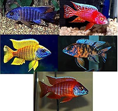 "Family of (5) African Cichlids 2"" Live Tropical Fish Assorted Alonocara Peacock Cichlid"