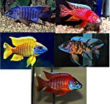 Family of (5) African Cichlids 2' Live Tropical Fish Assorted Alonocara Peacock Cichlid