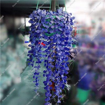 Colorés suspendus Parthenocissus tricuspidata semences vivaces herbes de fleurs Pot plantes anti-radiations des rayons ultraviolets 50 Pcs 10