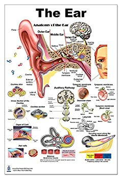 The Ear Poster 24x36inch Anatomy Organs of Hearing and Balance
