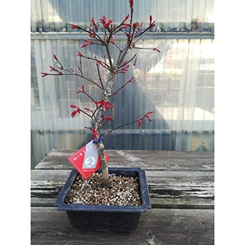 Acer palmatum deshojo 10 años ARCE maceta de plástico