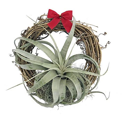 Air plant in wreath