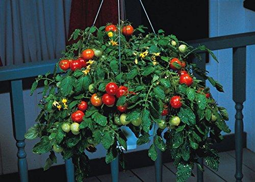 Il vous suffit de graines de l?gumes???tomates???Gobelet???F1?5?graines???Economy Lot