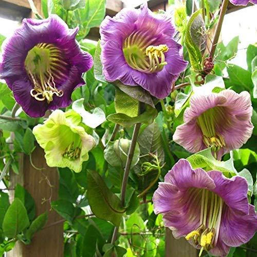 QHYDZ Garden-50pcs Seltene Rankende Glockenrebe Blumensamen Samen Blumen Cobaea Scandens Purple Zierpflanze für den Garten
