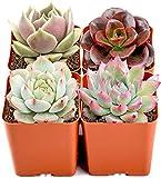Mini Live Succulent Plants Indoor,...