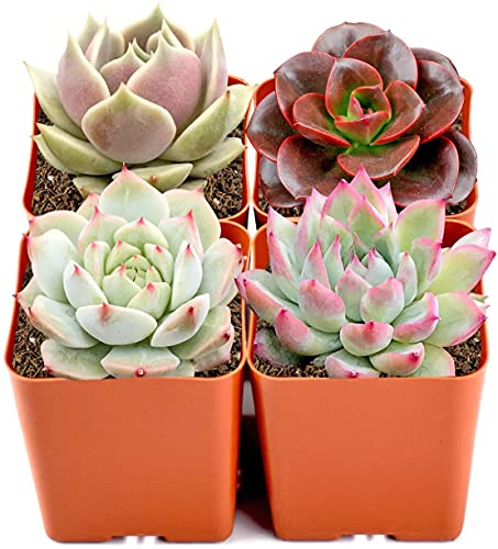 Mini Live Succulent Plants Indoor, 4 Assorted Varieties in 2' Planters, Bonsai Real Live Succulents for Home Office Wedding Party Decoration…