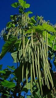 Thailändische Meterbohne grün Yard long Bean 10 Samen