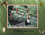Wollemi pine tree photography 2017