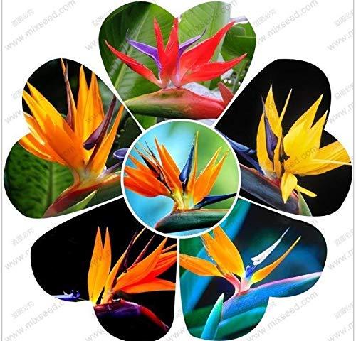 Shoopy Star Strelitzia reginae graines des plantes d'intérieur oiseau à long floraison des graines de paradis 10 nominale