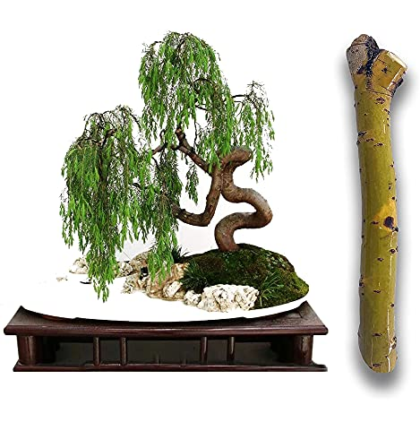 2 Australian Willow Bonsai Trees Fresh Cutting - Extensive Thick Trunks Fast Growing Light Bonsai Indoor Money Plant - Antique Piece for Your Home and Office - Twigz Nursery