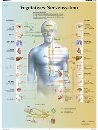 3B Scientific Lehrtafel laminiert - Vegetatives Nervensystem, VR0610L
