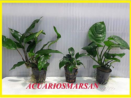 Desconocido Plantas DE Acuario. Lote 3 Plantas ANUBIA BARTERI-Mini-Minima