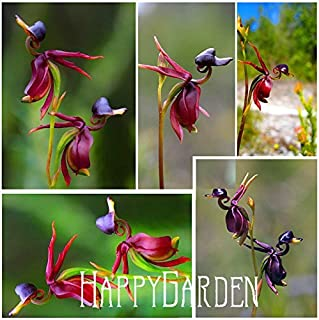 Flying Duck Orchid Seeds Rare Plant Black Orchid Seeds Garden Plants Potted Flowers Seeds 100 Pieces / Lot,#WUZ9UY