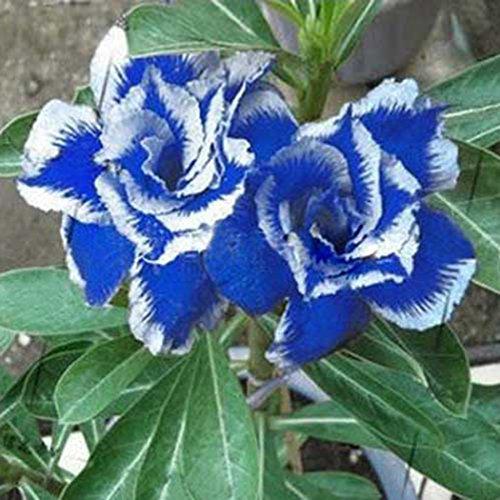 Ultrey Samenshop - 100 stück Wüstenrose Samen Exotisch Rose Blumensamen Edelrose Samen für Ihr Garten Balkon Lange Blütezeit winterhart mehrjährig