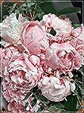 Los Bulbos De Peonía Son De Color Brillante Y Tienen Una Fragancia Fuerte,Plantas Duraderas,Plantas Increíbles,Todo Tipo De Encanto.-1 Bulbo,1