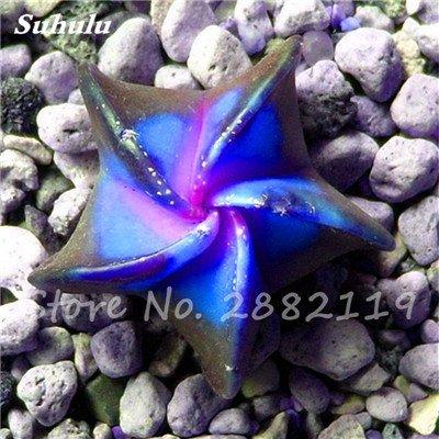 Succulentes graines fraîches 200 Pcs étoile à cinq branches charnus Graines rares Sempervivum Mix-kinds Fleurs Succulent Bonsai Plantes 9 pot