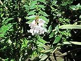 Abelia × grandiflora, the glossy abelia at the garden