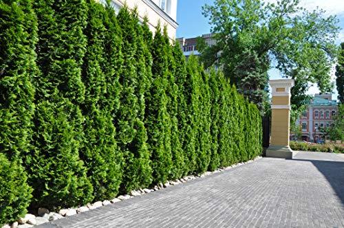 15st. Thuja Smaragd 50-70cm im Topf mit einem festen Ballen für 5m Hecke Lebensbaum Heckenpflanzen