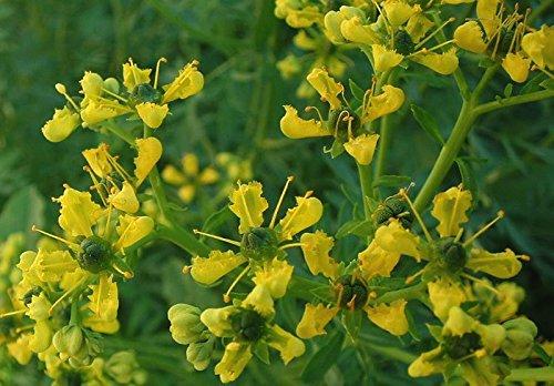 Asklepios-seeds® - 500 Semillas Ruta graveolens ruda, arruda, ruda común, ruda cultivada, ruda de hojas anchas, ruda de los huertos, ruda hortense, ruda hortense de hojas anchas