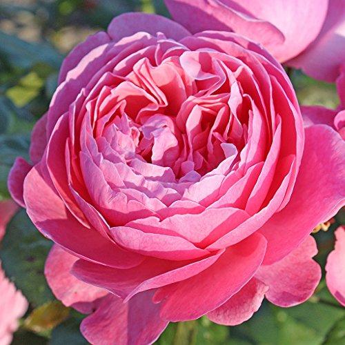 Kordes Rosen Kölner Flora Strauchrose, rosa, 12 x 12 x 40 cm