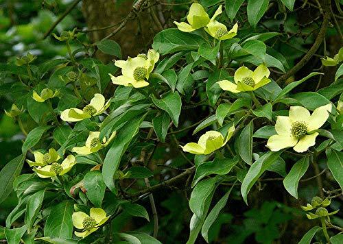 Portal Cool 1 Cornus capitata Evergreen Cornouiller Woodland spécimen des Oiseaux Arbre des Aliments