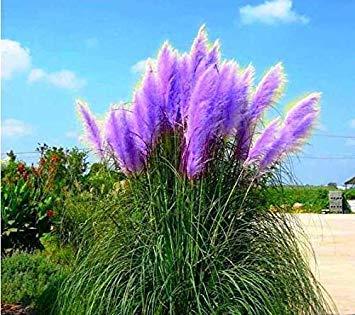 500 Pcs Pampas Semence à gazon Patio et jardin des plantes ornementales en pot New Fleurs (Rose Jaune Violet Blanc) Cortaderia Semence à gazon
