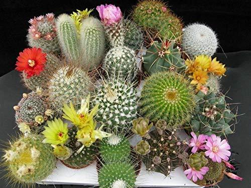PLAT FIRM Germination Les graines: CACTUS SEEDS - Super Mix à effet de serre - Succulentes, Tropical - en vrac - 100 graines
