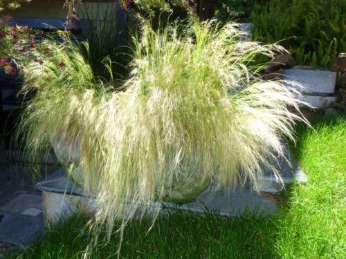 vegherb 350 Seeds 35 + mexikanische Federgras (Stipa tenuissima) Samen Stauden Zier Combsh